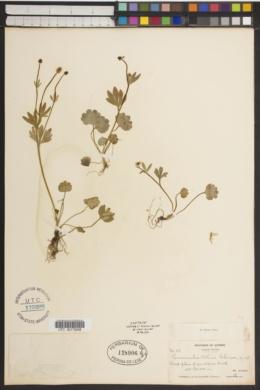 Image of Ranunculus allenii
