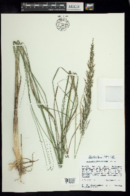 Image of Muhlenbergia distans