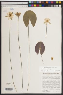 Nymphaea leibergii image