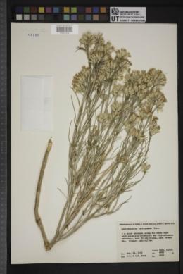 Lepidospartum latisquamum image