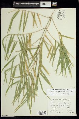 Image of Guadua longifolia