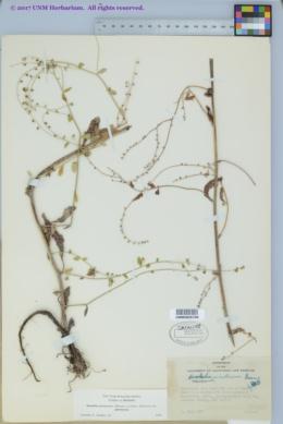 Hackelia pinetorum image