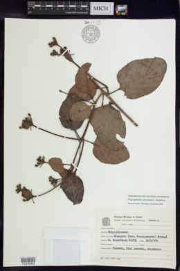 Image of Stigmaphyllon arenicola