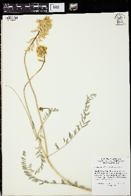 Image of Astragalus collinus