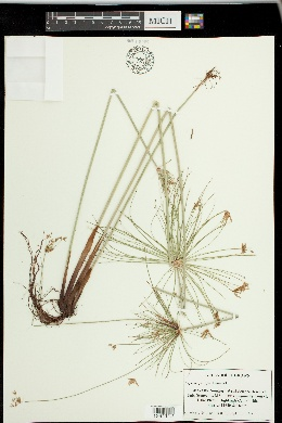 Image of Cyperus prolifer