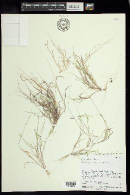 Image of Muhlenbergia uniseta