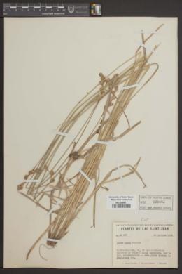 Carex foenea var. foenea image