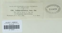 Microbotryum reticulatum image