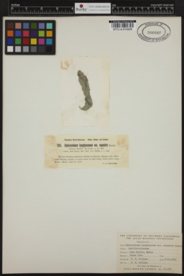 Hydrocoleum lyngbyaceum f. rupestre image
