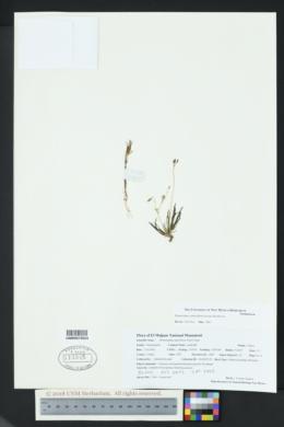 Phemeranthus confertiflorus image