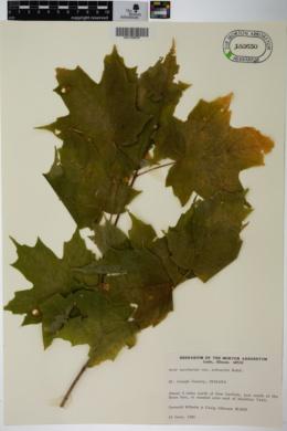 Acer saccharum var. schneckii image
