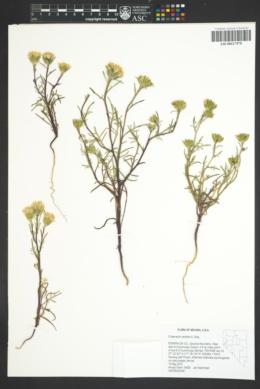 Chaenactis xantiana image