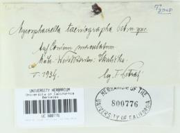 Mycosphaerella taeniographa image