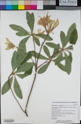 Rhododendron occidentale image