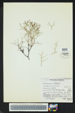 Eriogonum heermannii var. argense image