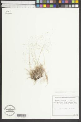 Image of Agrostis inconspicua