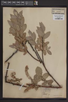 Image of Salix adenophylla