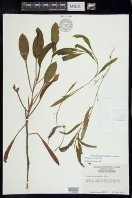 Potamogeton nodosus image