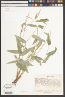 Image of Lithachne horizontalis