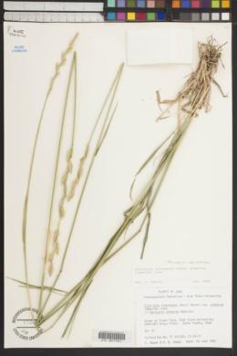 Thinopyrum podperae image