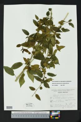 Image of Hybanthus galeottii
