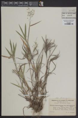 Panicum depauperatum var. psilophyllum image