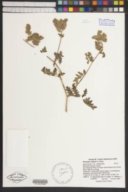 Image of Phacelia rattanii