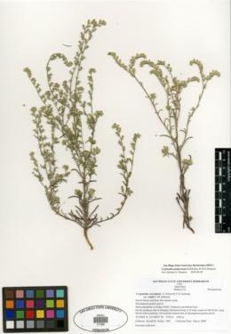 Cryptantha juniperensis image