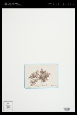 Polysiphonia fucoides image
