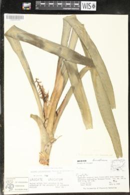 Image of Aechmea tillandsioides