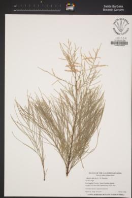 Tamarix aphylla image