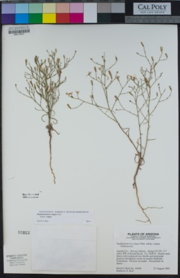 Stephanomeria exigua subsp. exigua image