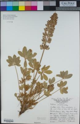 Image of Lupinus cervinus