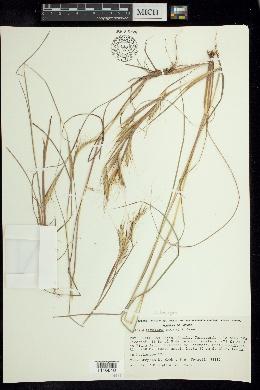 Andropogon fastigiatus image