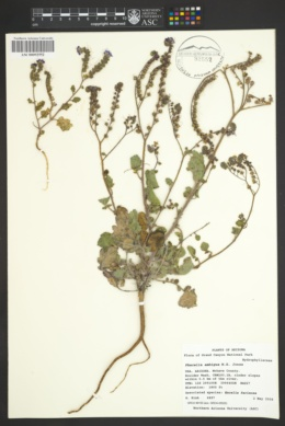 Phacelia crenulata var. ambigua image