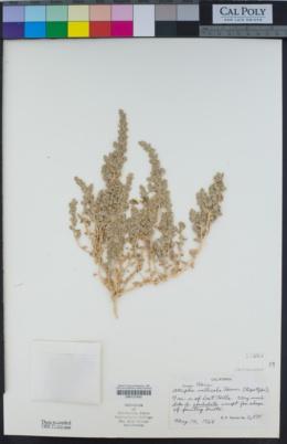 Atriplex coronata var. vallicola image