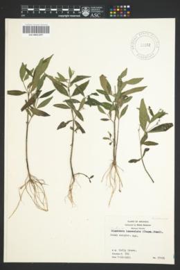Image of Justicia lanceolata