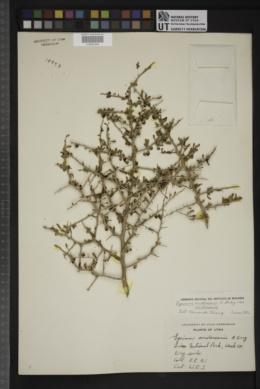 Lycium andersonii var. andersonii image
