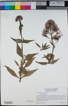 Centranthus ruber image