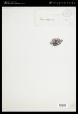 Vertebrata lanosa image