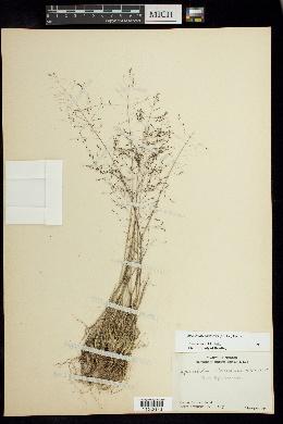 Sporobolus atrovirens image