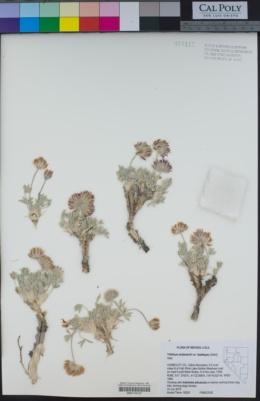 Trifolium andersonii image