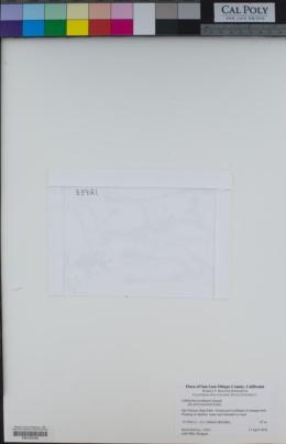 Callitriche trochlearis image