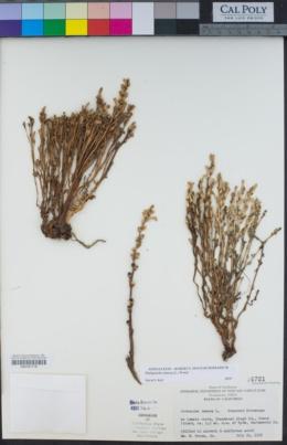 Phelipanche ramosa image