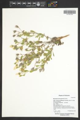 Mentzelia pterosperma image