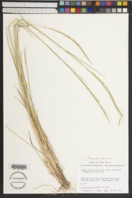 Image of Roegneria sinica
