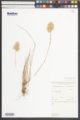Austrodanthonia richardsonii image