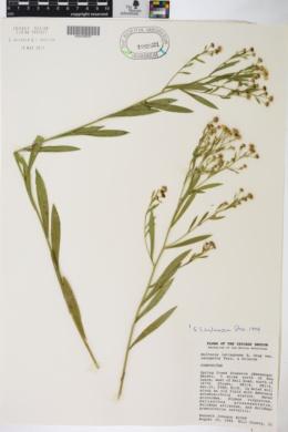 Boltonia latisquama var. recognita image