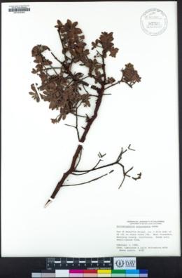 Arctostaphylos pajaroensis image