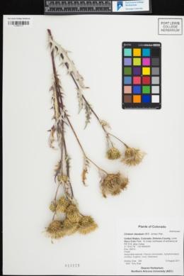 Image of Cirsium clavatum